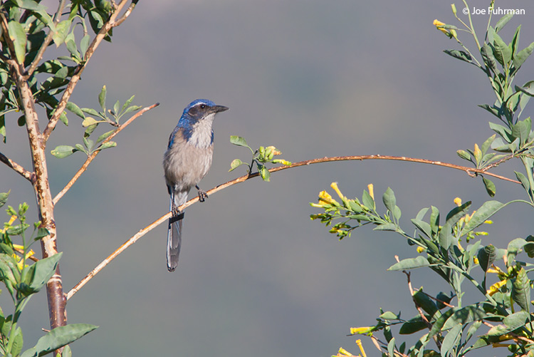 Western Scrub-Jay L.A. Co., CA may 2009