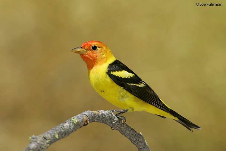 Western_Tanager_NC5S0974