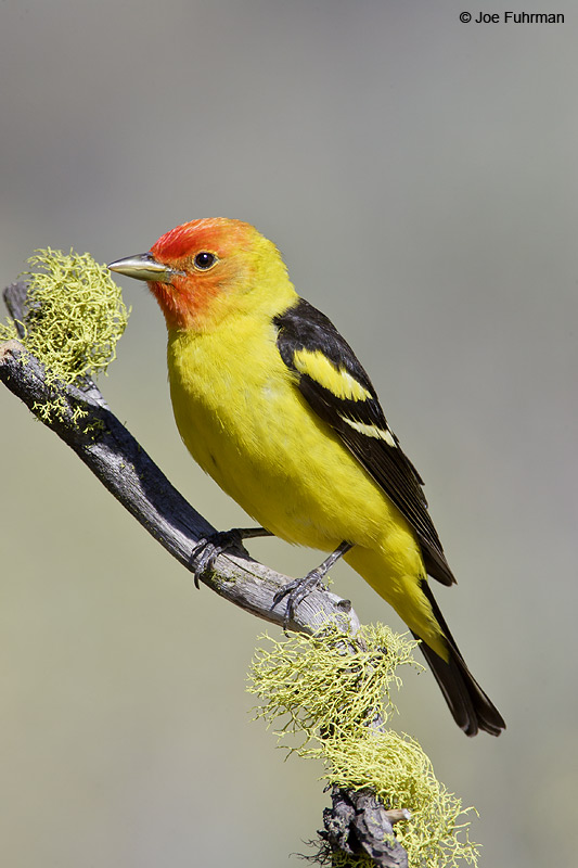 Western Tanager male Lake Co., OR   June 2008