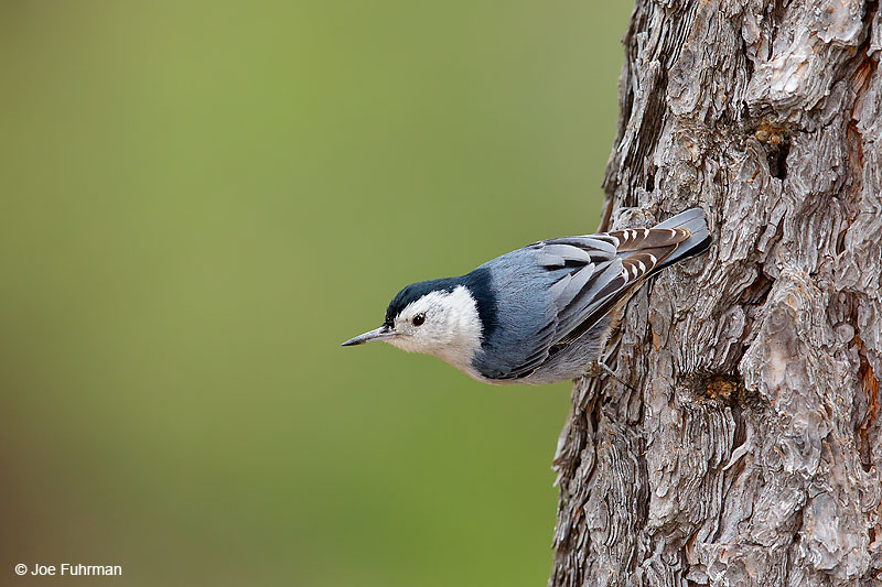 White-breasted NuthatchPIma Co., AZ April 2016