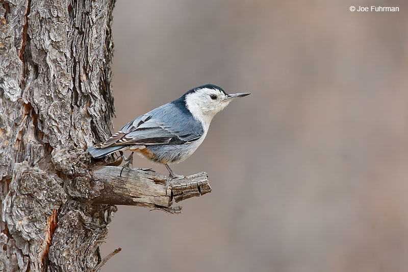 White-breasted Nuthatch PIma Co., AZ April 2016