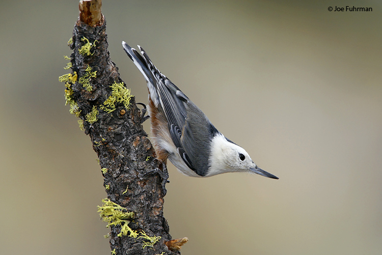White-breasted_Nuthatch_IMG_4693