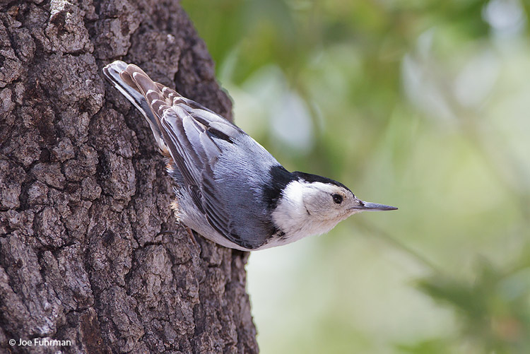 White-breasted Nuthatch Santa Cruz Co., AZ April 2010