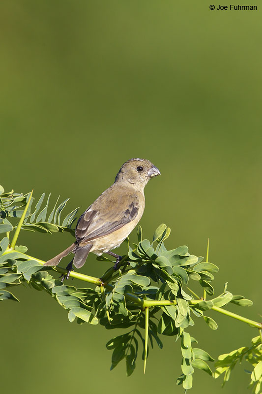 White-collared Seedeater female Nay., Mexico Dec. 2013
