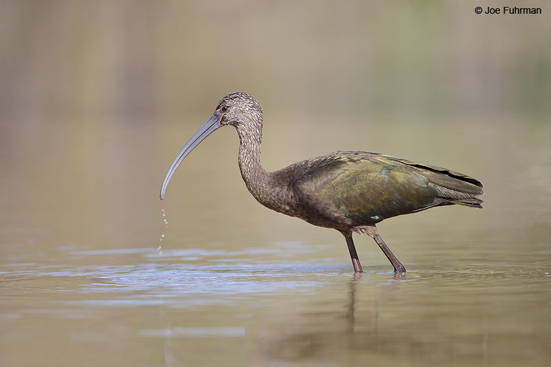 White-faced Ibis Baja Sur, Mexico Jan. 2013