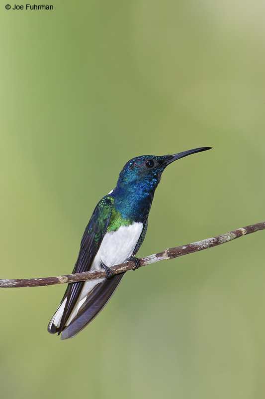 White-necked Jacobin m. Gamboa,  Panama   March 2008