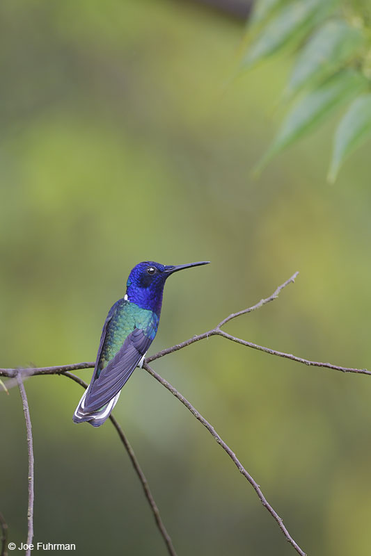 White-necked Jacobin Trinidad And Tobago   Dec. 2012