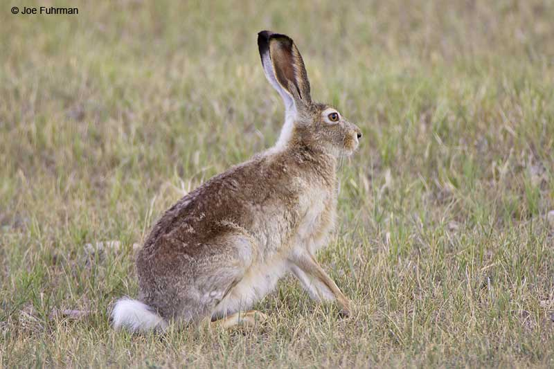 White-tailed Jackrabbit   Weld County, CO   July 2006