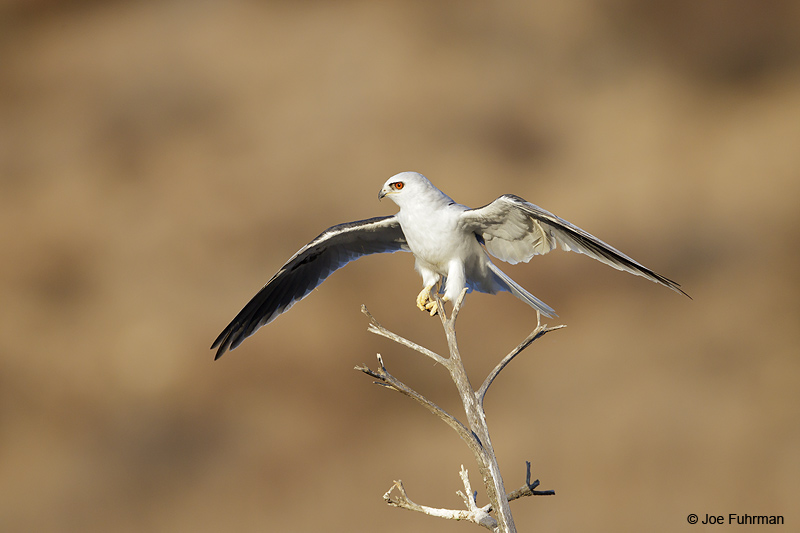 White-tailed Kite San Diego Co., CA August 2012