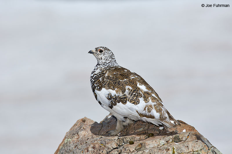 White-tailed Ptarmigan Summit Co., CO   June 2014