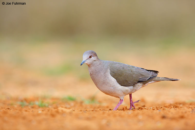 White-tipped Dove Starr Co., TX   March 2015