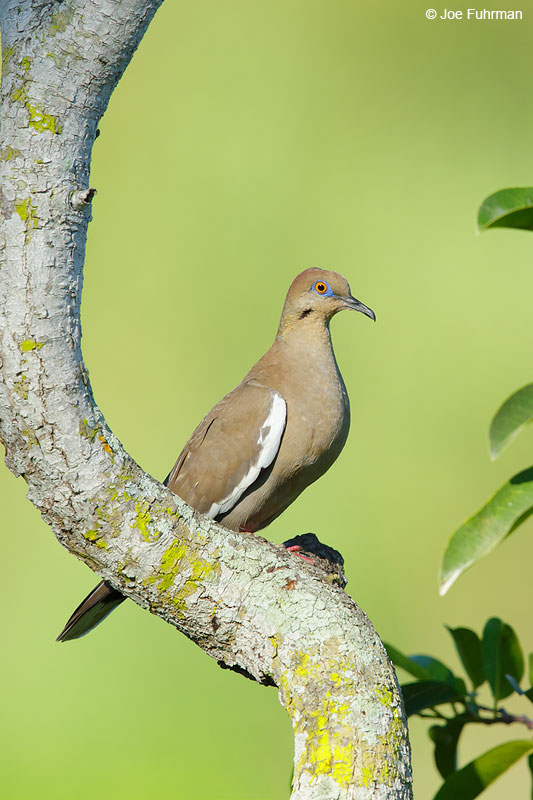 White-winged Dove Jalisco, Mexico   April 2015