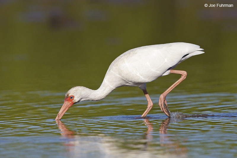 White Ibis Nay., Mexico   Dec. 2013
