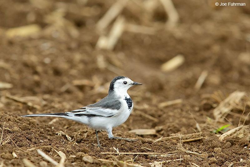 White Wagtail Thailand   October 2015