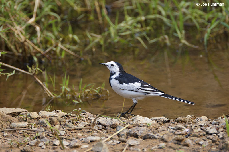 White Wagtail Thailand Feb. 2012