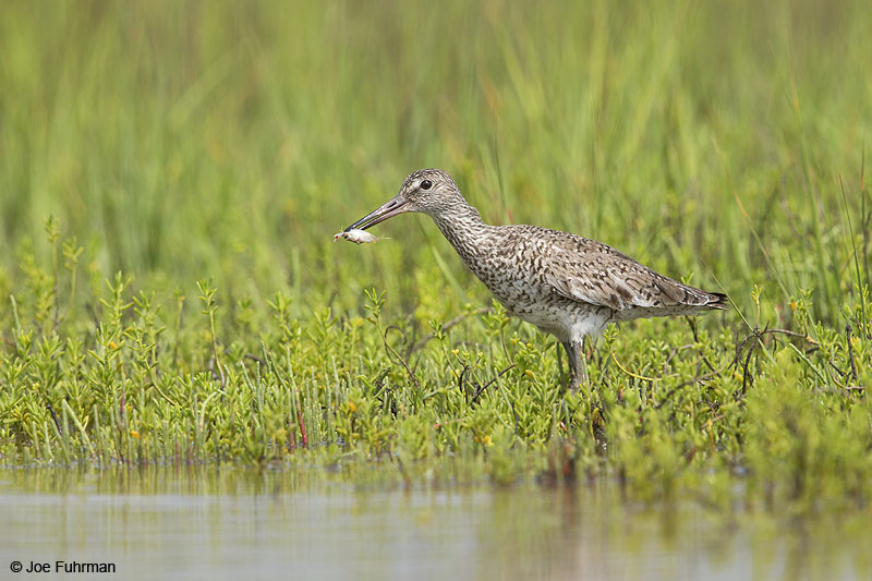 Willet Galveston, TX April 2014