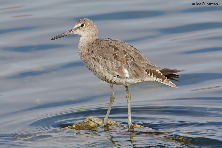 Willet L.A. Co., CA August 2008