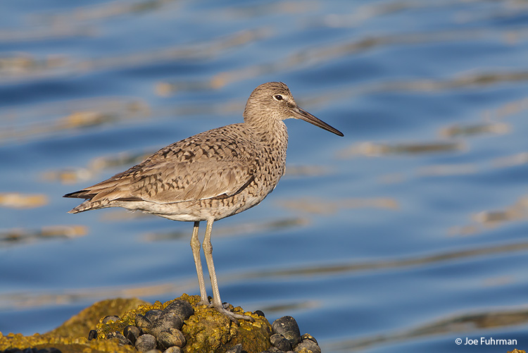 Willet L.A. Co., CA April 2009