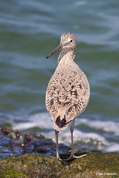 Willet breeding L.A. Co., CA April 2008