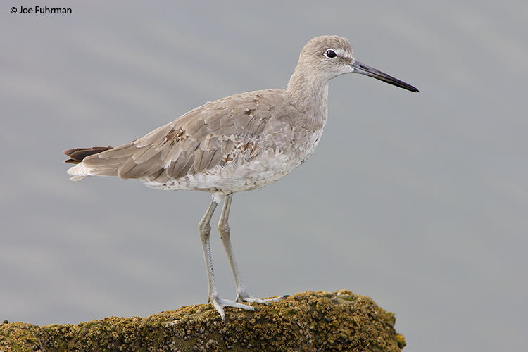 Willet L.A. Co., CA August 2006