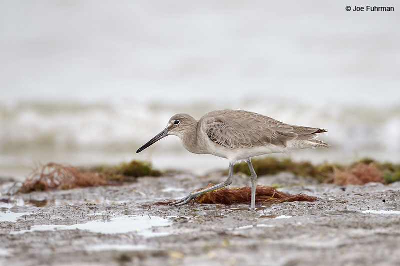 Willet (Eastern subspecies semipalmata) Lee Co., FL Dec. 2012