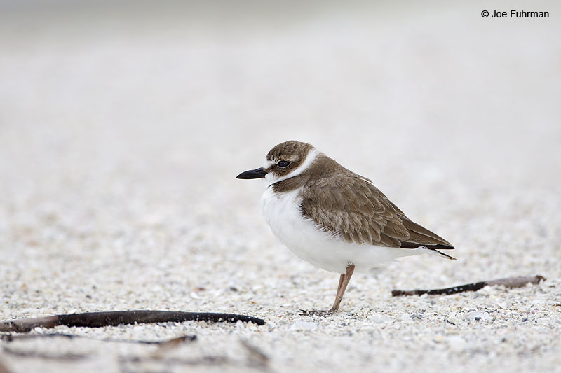Wilson's Plover winter plumage Lee Co., FL Dec. 2012