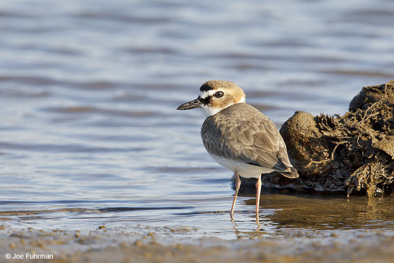Wilson's Plover breeding plumage Ameca River Lagoon-Nay., Mexico  March 2013