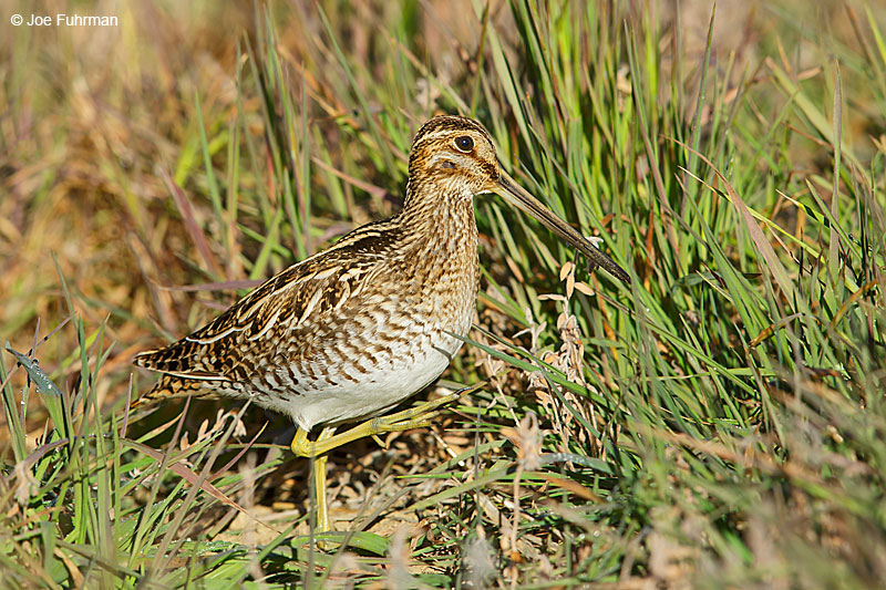 Wilson's Snipe Riverside Co., CA December 2015