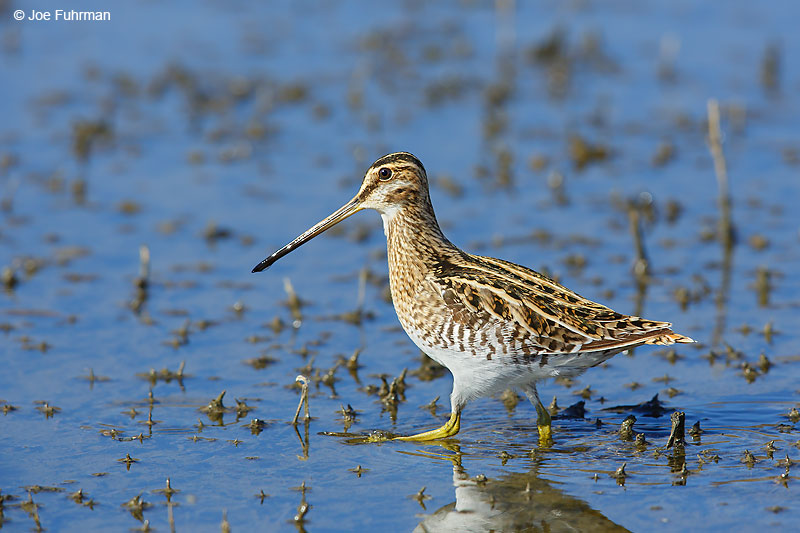 Wilson's Snipe Riverside Co., CA   November 2016