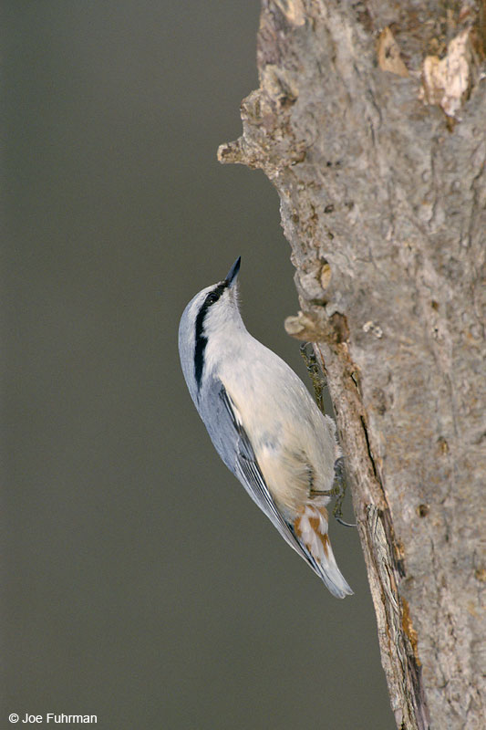Wood Nuthatch-Akan National Park Hokkaido, Japan    Jan. 2000
