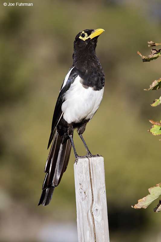 Yellow-billed Magpie Monterey Co., CA July 2012