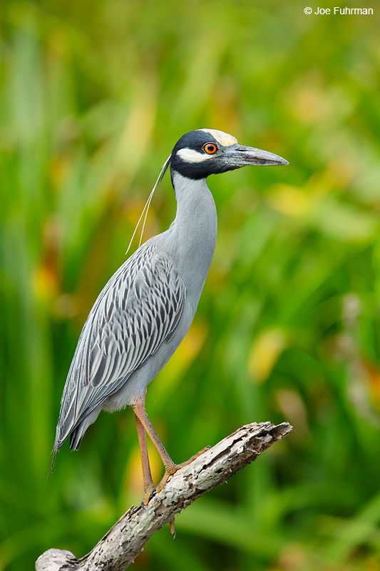 Yellow-crowned Night-Heron San Blas, Nayarit, Mexico April 2015