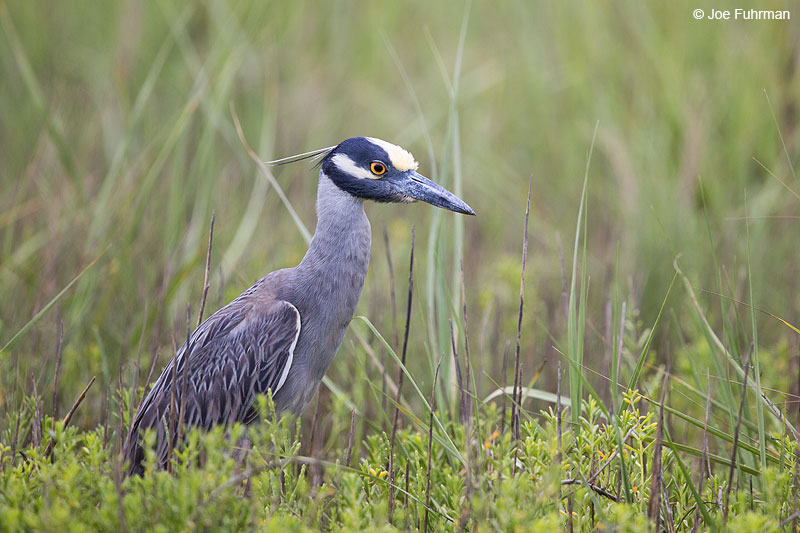 Yellow-crowned Night-Heron Galveston, TX May 2014