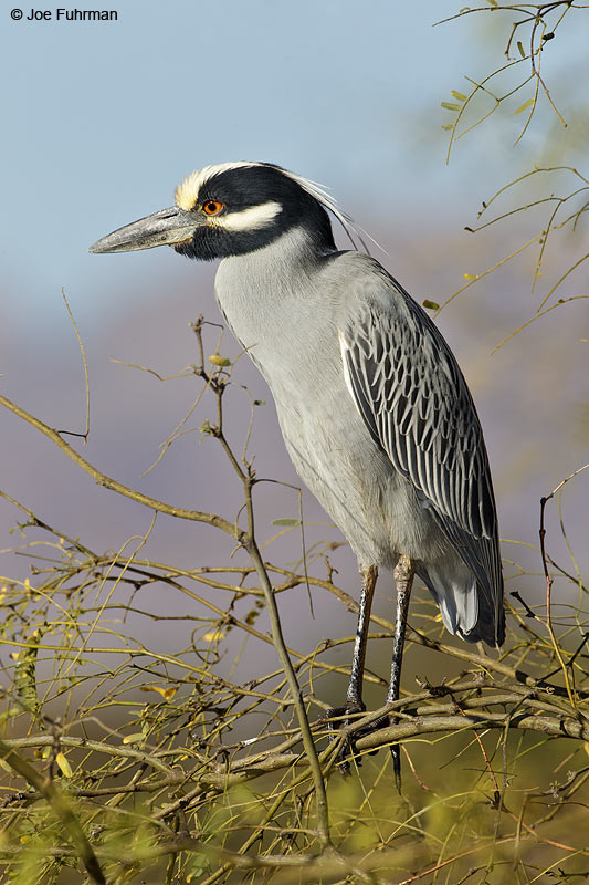 Yellow-crowned Night-Heron BCS, Mexico March 2011