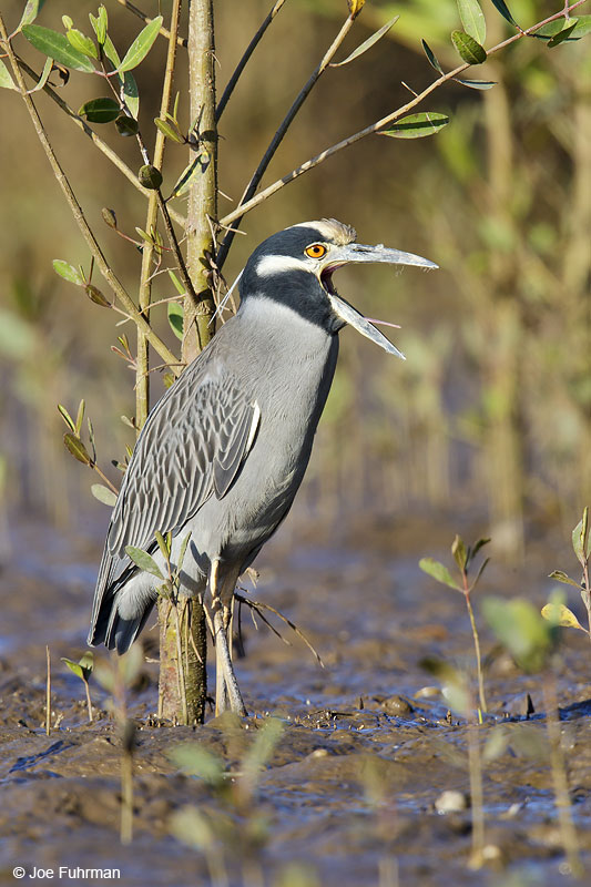 Yellow-crowned Night-Heron Nay., Mexico Dec. 2013