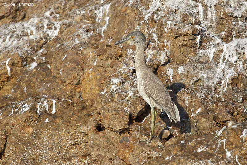 Yellow-crowned Night-Heron Islas Marietas, Nay., Mexico March 2013