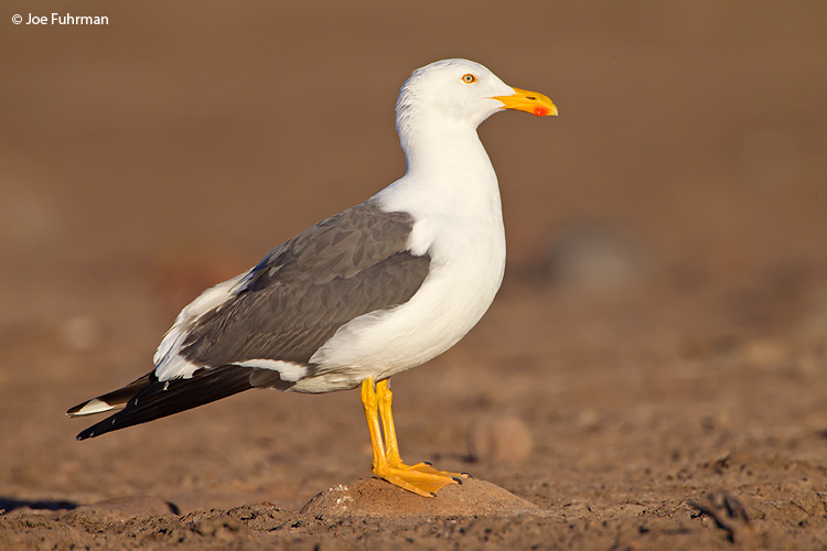 Yellow-footed Gull BCS, Mexico   March 2011