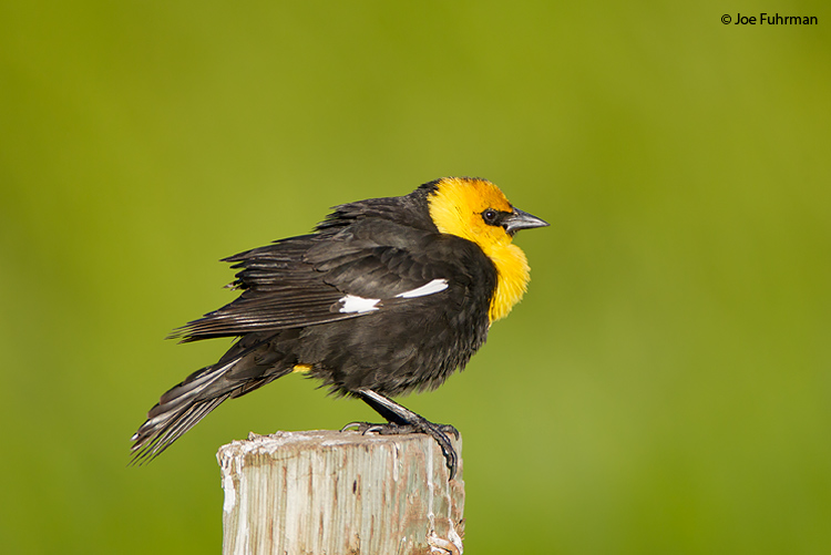 Yellow-headed Blackbird male Harney Co., OR June 2008