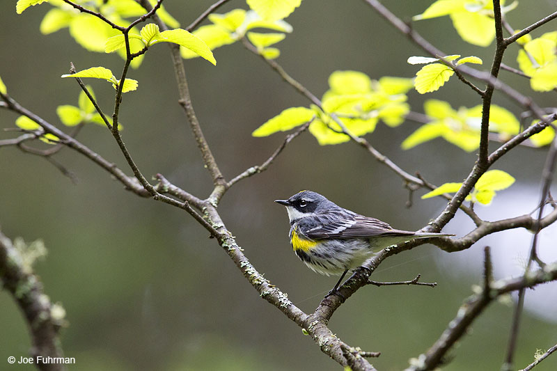 Yellow-rumped Warbler Piscataquis Co., ME   May 2013