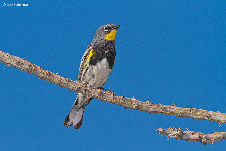 Yellow-rumped Warbler San Diego Co., CA April 2010
