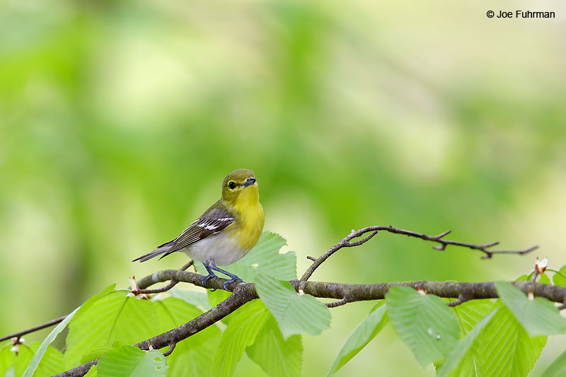 Yellow-throated Vireo Lackawanna Co., PA   May 2016