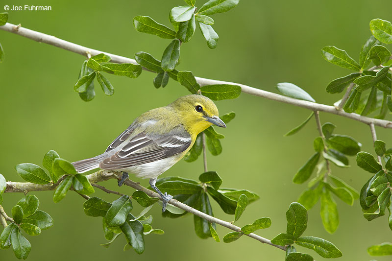 Yellow-throated Vireo Galveston, TX May 2014