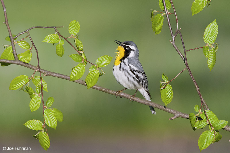 Yellow-throated Warbler Cattaraugus Co., NY    May 2012