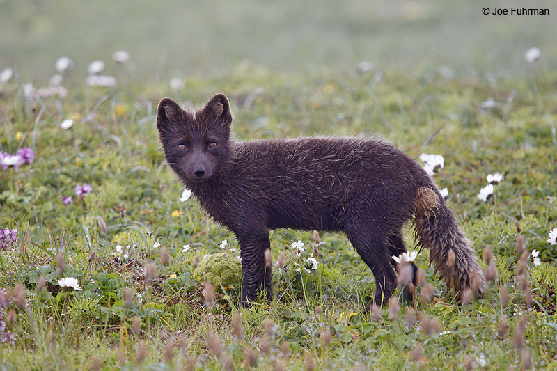 Arctic Fox St. Paul Island, AK   Aug. 2010