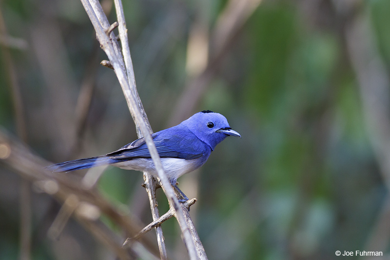 Black-naped Monarch Thailand   Feb. 2012