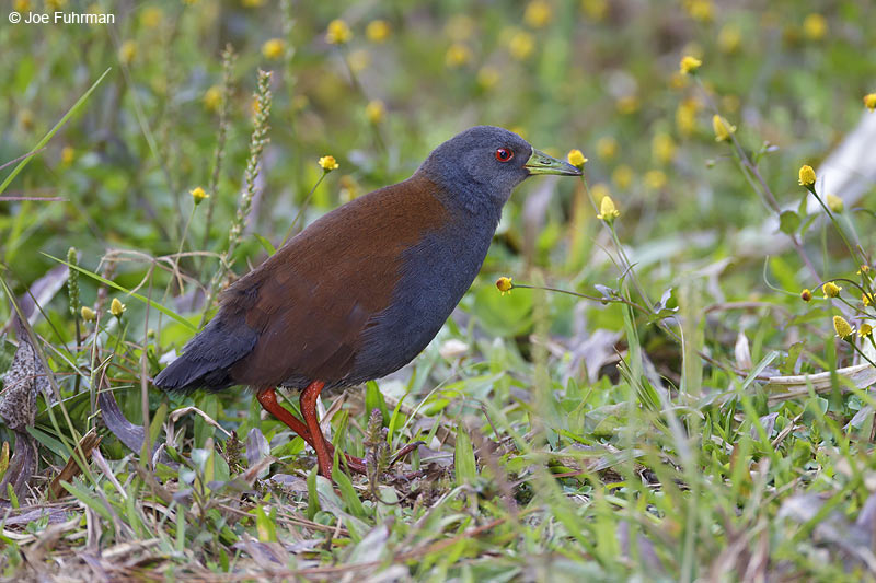 Black-tailed Crake Doi Inthanon N.P., Thailand    Feb. 2012