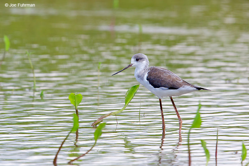 Black-winged StiltThailand   October 2015