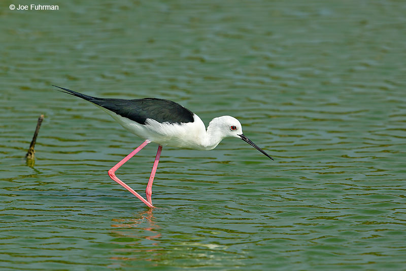 Black-winged Stilt Thailand   October 2015