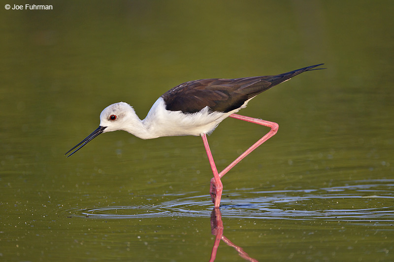 Black-winged Stilt Thailand Feb. 2012