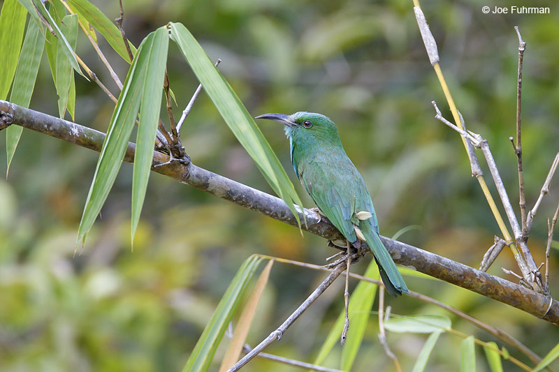 Blue-bearded Bee-eater Thailand   Feb. 2012